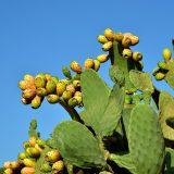 kaktusfeige-opuntia-ficus-indica-gegen-kater