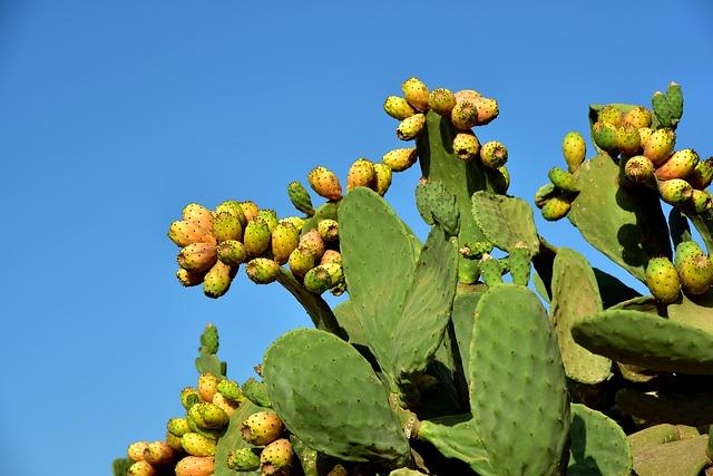 kaktusfeige-opuntia-ficus-indica-gegen-kater.jpg